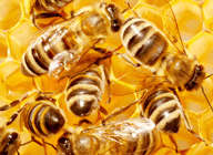 On Strata Corporations and Honey Bees
